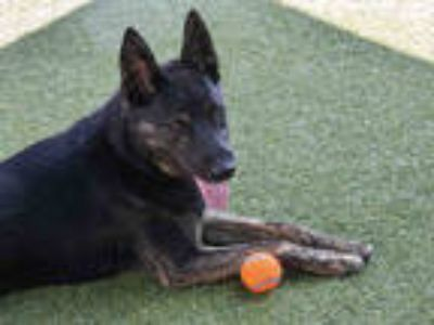 Adopt a Brindle - with White Australian Cattle Dog / German Shepherd Dog / Mixed
