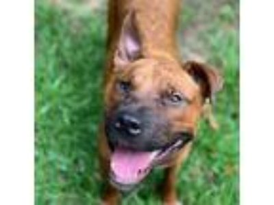 Adopt Lucy a Brown/Chocolate Shepherd (Unknown Type) / Terrier (Unknown Type