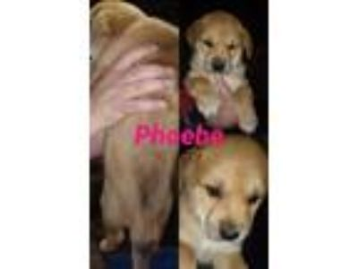 Adopt Phoebe a Golden Retriever, Shepherd