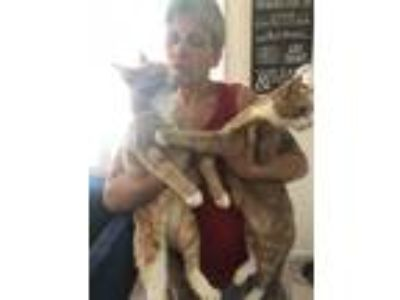 Adopt Patrick and George a Domestic Short Hair