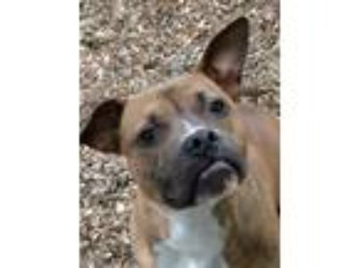 Adopt Tank a Boxer, American Staffordshire Terrier