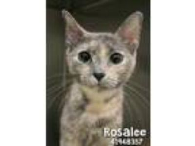 Adopt Rosalee a Gray or Blue Domestic Shorthair / Domestic Shorthair / Mixed cat