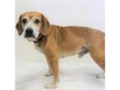 Adopt BENTLY a Brown/Chocolate - with White Beagle / Mixed dog in San Martin