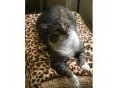 Adopt Bronson a Domestic Short Hair, Tabby