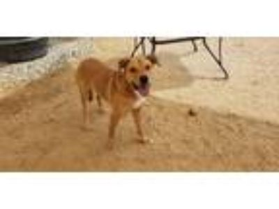 Adopt Lyla a Tan/Yellow/Fawn - with White Retriever (Unknown Type) / Mixed dog