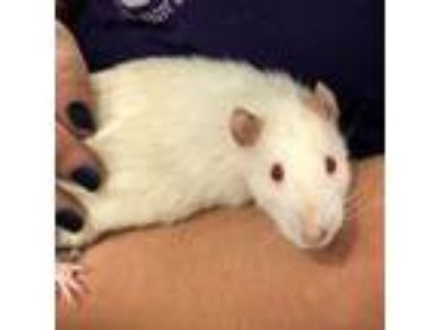 Adopt Scabbers a Rat