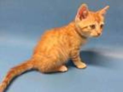 Adopt Till a Orange or Red Domestic Shorthair / Mixed cat in Golden Valley
