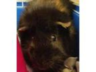 Adopt Chase a Guinea Pig small animal in Sheboygan, WI (25806274)