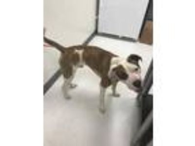Adopt Tiger a White American Pit Bull Terrier / Mixed dog in Irving