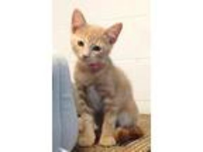 Adopt Havana a Domestic Short Hair