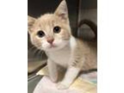 Adopt Buddy a Tan or Fawn Domestic Shorthair / Domestic Shorthair / Mixed cat in