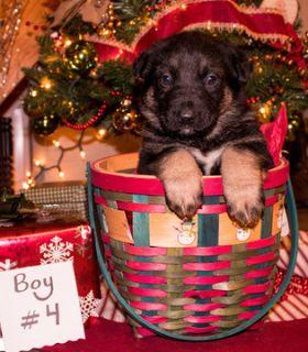 German Shepherd Dog PUPPY FOR SALE ADN-106992 - AKC German Shepherd Puppy