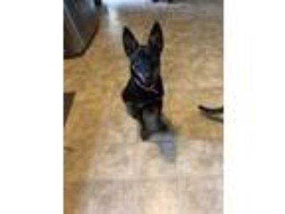 Adopt Sammie a German Shepherd Dog
