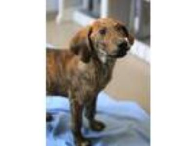 Adopt Peppermint a Black Hound (Unknown Type) / Mixed dog in Bloomingdale