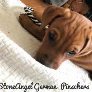 German Pinscher PUPPY FOR SALE ADN-75178 - German Pinscher Puppies