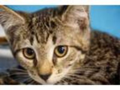 Adopt Slippers a Domestic Short Hair