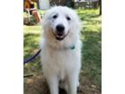 Adopt Coggs a Great Pyrenees
