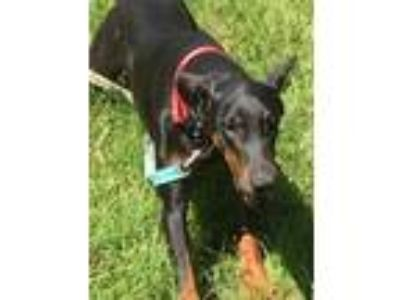Adopt Venus a Black - with Tan, Yellow or Fawn Doberman Pinscher / Mixed dog in