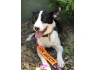 Adopt Shuga a Black - with White Border Collie / Mixed dog in Chicago