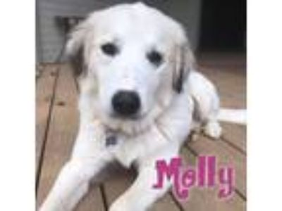 Adopt Molly a White Great Pyrenees / Mixed dog in Windsor, CO (25656912)