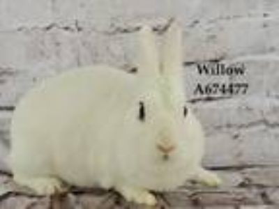 Adopt WILLOW a Bunny Rabbit