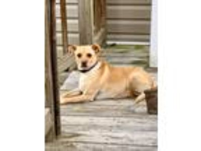 Adopt Jax a Tan/Yellow/Fawn - with White Miniature Pinscher / Rottweiler dog in