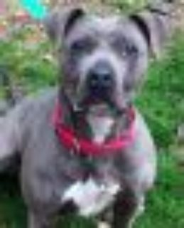 Baby *URGT* IMMED FOSTER HOME NEEDED American Staffordshire Terrier - Pit Bull Terrier Dog