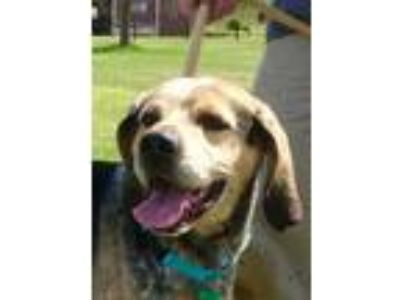 Adopt Strider a Coonhound, Australian Cattle Dog / Blue Heeler
