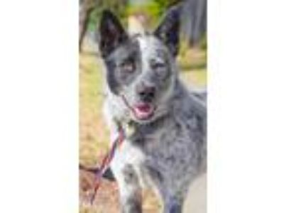 Adopt SEXY REXY a Australian Cattle Dog / Blue Heeler, Border Collie
