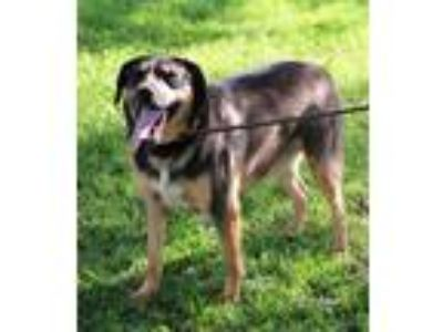 Adopt Larry a Rottweiler, German Shepherd Dog