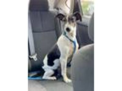 Adopt Shelby a Rat Terrier