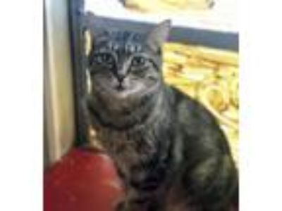 Adopt Mya a Brown Tabby Domestic Shorthair / Mixed (short coat) cat in Satellite