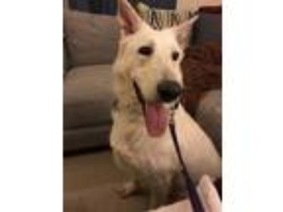 Adopt Kaja a White German Shepherd Dog / Mixed dog in Mt. Airy, MD (24605774)