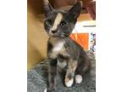 Adopt Scout a Dilute Calico
