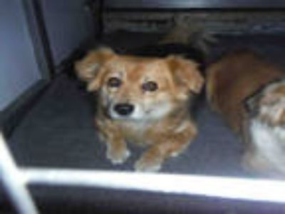 Adopt #THELMA a Black - with Brown, Red, Golden, Orange or Chestnut Corgi /