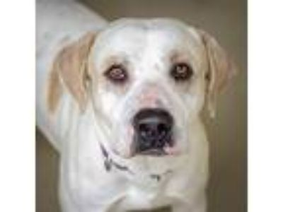 Adopt Casey a Labrador Retriever / Mixed dog in St. Petersburg, FL (24762497)