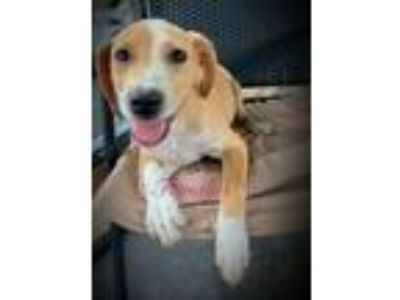 Adopt A - Beauty a Labrador Retriever, Beagle