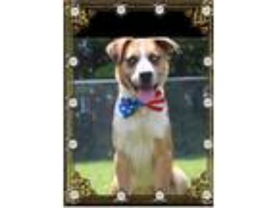 Adopt Madden a Tan/Yellow/Fawn Australian Cattle Dog / Mixed dog in Manhasset
