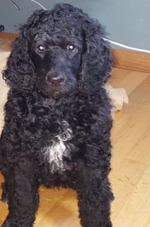 Poodle (Standard) PUPPY FOR SALE ADN-104512 - Male standard poodle for sale