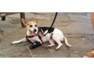 Adopt Molly a Beagle, Rat Terrier