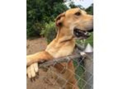 Adopt Big'n a Tan/Yellow/Fawn Great Dane / Rhodesian Ridgeback dog in Newton