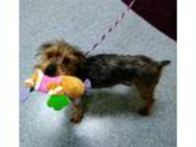 Adopt Max a Yorkshire Terrier
