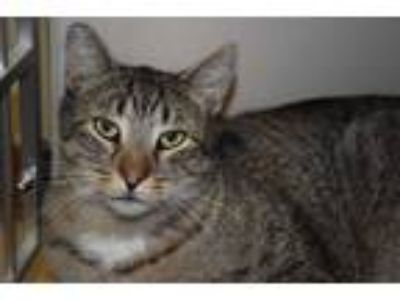 Adopt Edward a Brown Tabby Domestic Shorthair (short coat) cat in Pottsville