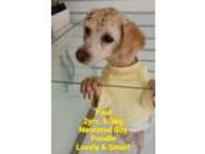Adopt 'PAUL' a Tan/Yellow/Fawn Poodle (Miniature) / Mixed dog in Agoura Hills