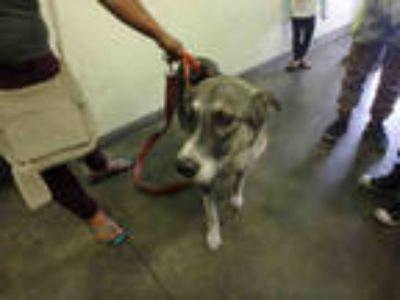 Adopt ATHENA a Brown/Chocolate - with White Mixed Breed (Medium) / German