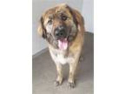 Adopt BRISTOL a Golden Retriever, Mixed Breed
