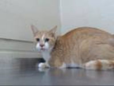 Adopt DANCE a Domestic Short Hair