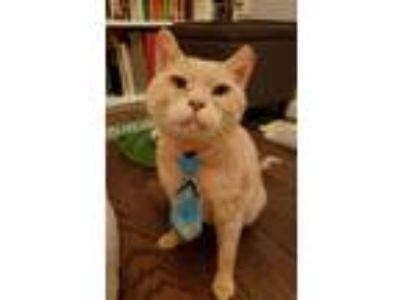 Adopt Teddy a Tan or Fawn Domestic Shorthair / Mixed (short coat) cat in