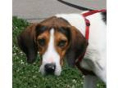 Adopt Ed a Tricolor (Tan/Brown & Black & White) Treeing Walker Coonhound / Mixed