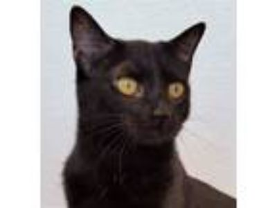 Adopt Ziti a Domestic Short Hair